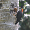 Jamaican Woodpecker (Melanerpes radiolatus) Green Castle Estate, Saint Mary Parish, Jamaica