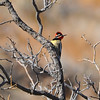 Red-naped Sapsucker (Sphyrapicus nuchalis) Ladder Ranch, Hillsboro NM