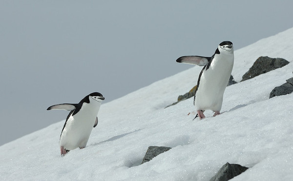 2 Penguins