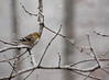 Goldfinch in snow.<br /> <br /> Birds mostly seem oblivious to snow and rain.