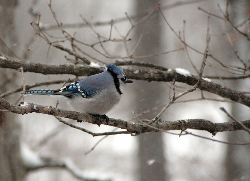 Rotund bluejay, puffed up against the cold.