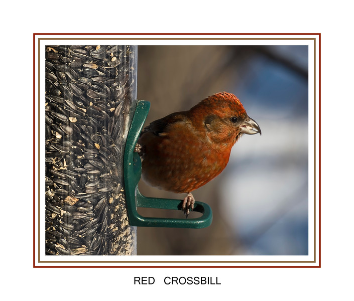 Red Crossbill, rare visitor to my feeders