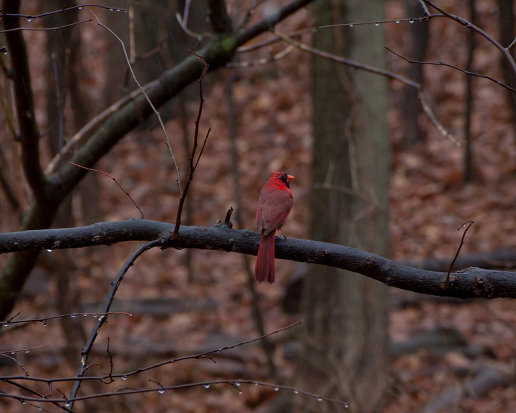 Male cardinal in the woods near the feeders.<br /> April 2011, Michigan