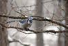 A bluejay waiting its chance at the feeders.<br /> <br /> Bluejays tend to be bullies.  The smaller birds scatter when a bluejay approaches.