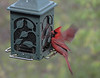 Male northern cardinal at a feeder