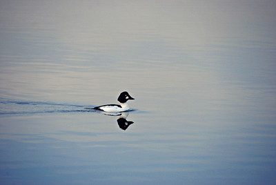 Male Common Goldeneye, Green Lake 2013