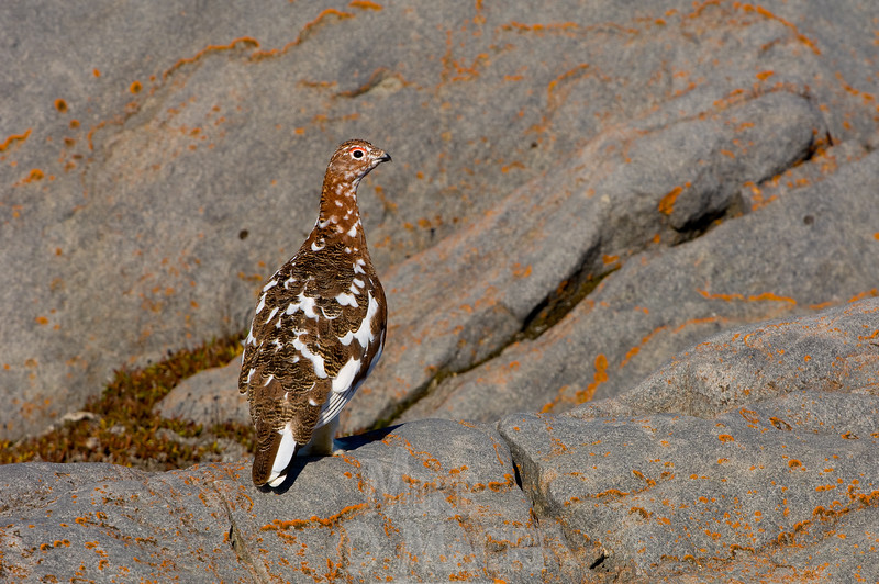 Willow ptarmigan, fall plumage #2