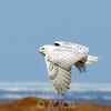 Snowy owl, Hudson Bay  coast