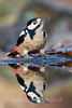 Great Spotted Woodpecker with reflection