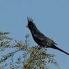 Phainopepla at Joshua Tree National Park
