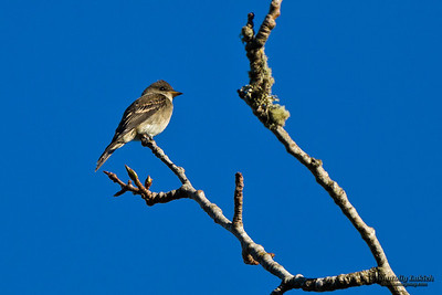 Western Wood-Pewee (Contopus sordidulus). The Western Wood Pewee is a small tyrant flycatcher. Западный пиви.