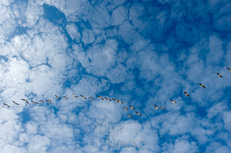 Canada geese migrating north.