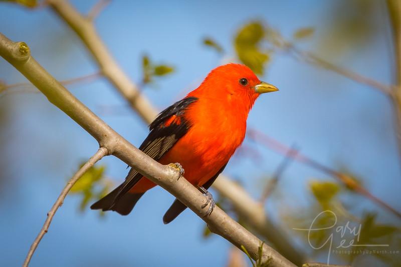 Scarlet Tanager Image