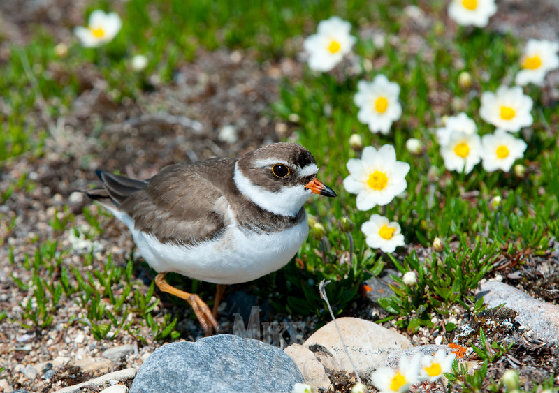 Semipalmated Plover by arctic avens.