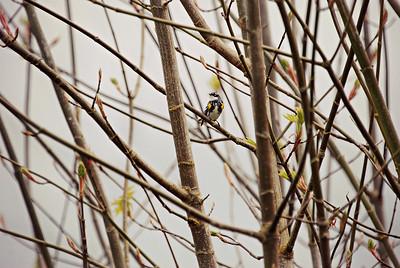 Yellow Rumped Warbler, WA