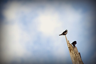 Tree Swallows, Seattle WA