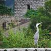 Grey Heron from Mui Wo