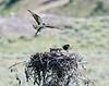 Osprey nest, Lamar Valley