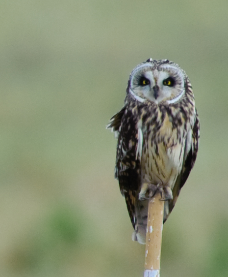 Short-eared Owl, Rawlins Road, Fir Island, WA