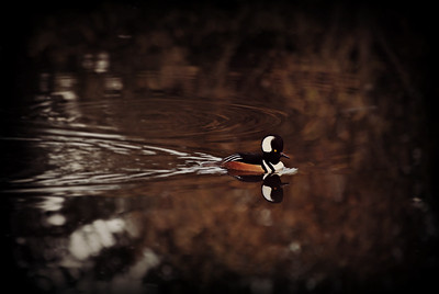 Male Hooded Merganser, Seattle