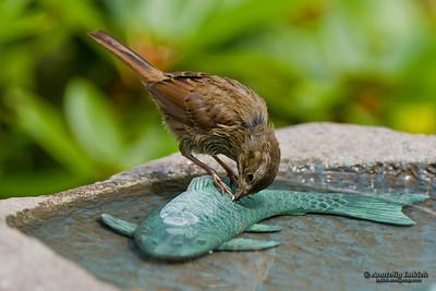 Song Sparrow (Melospiza melodia) at birdbath . Певчая зонотрихия
