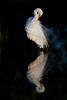 Sunrise reflection, great egret