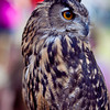 European Eagle Owl, 6 year old male. <br /> © 2010 Howard Pitkow. All Rights Reserved.