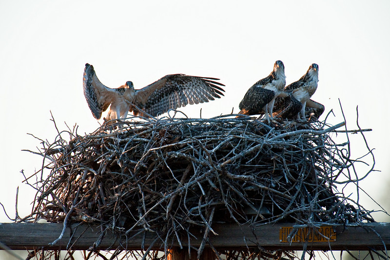 Adult osprey and pair of young