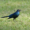 Long Tailed Starling