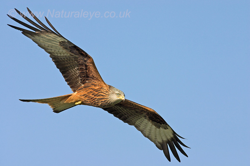 Red Kite soaring over the Gigrin Farm Kite Centre