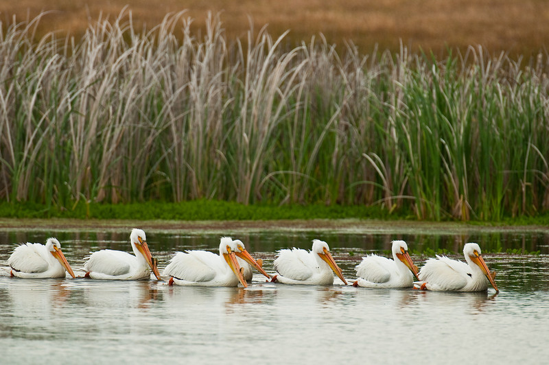 Seven White Pelicans