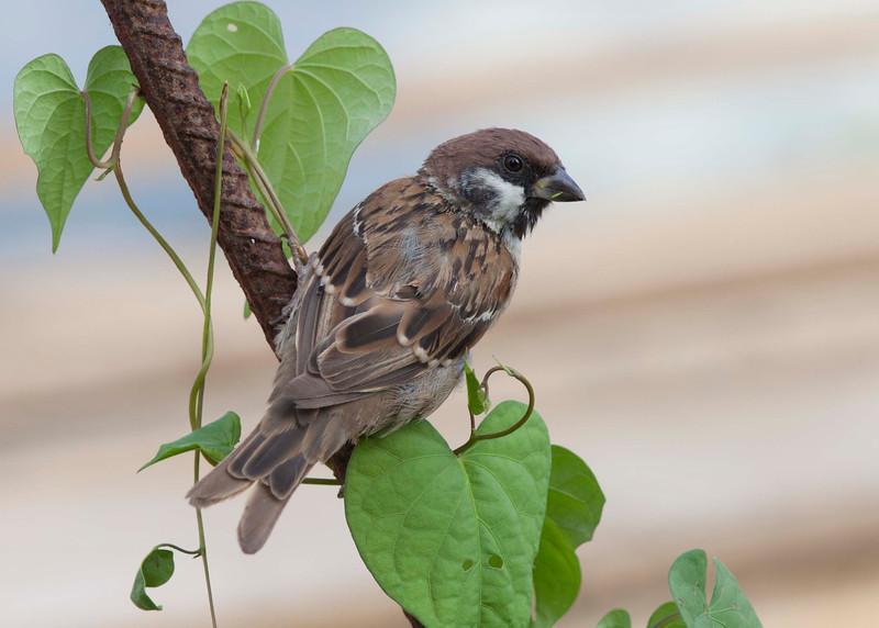 Wood Sparrow
