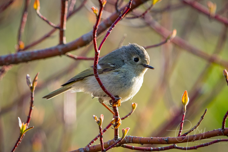 Ruby Crowned Kinglet