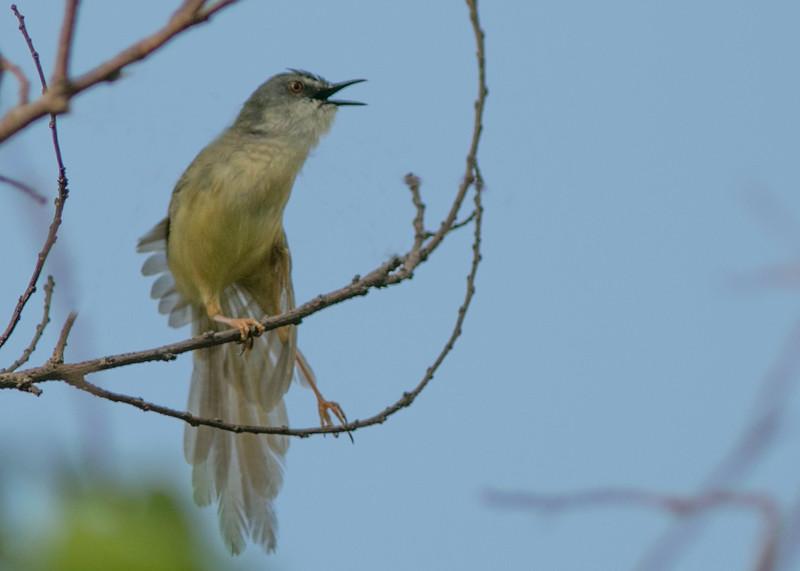 Yellow bellied prinia singing