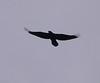 Raven<br /> Narsarsuaq
