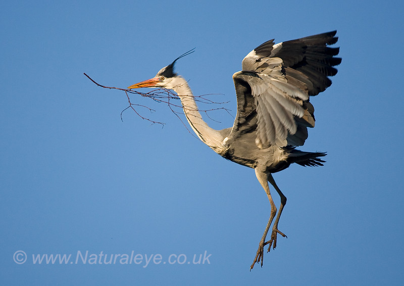 Gey Heron in flight with twig