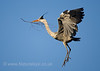 Gey Heron in flight with twig