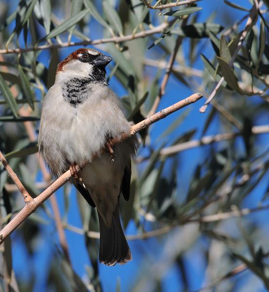 House Sparrow at Covington Park right next to Big Morongo,CA.