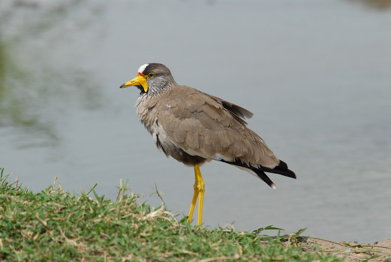Lappet-Faced Plover