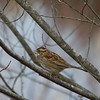 White-throated sparrow, Walnut St.,West Bridgewater, MA