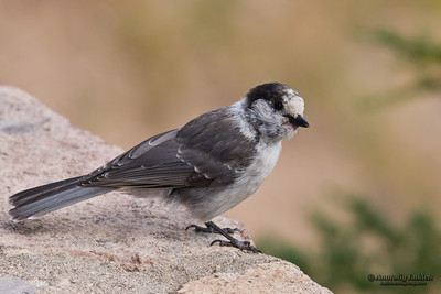 Gray Jay (Perisoreus Canadensis) is a member of the crow and jay family.  Черноголовая кукша.
