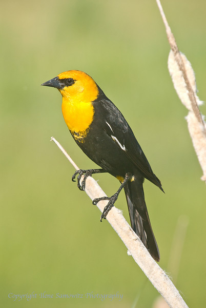 Yellow-headed Blackbird in Marsh
