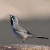 Black-throated sparrow at Joshua Tree National Park