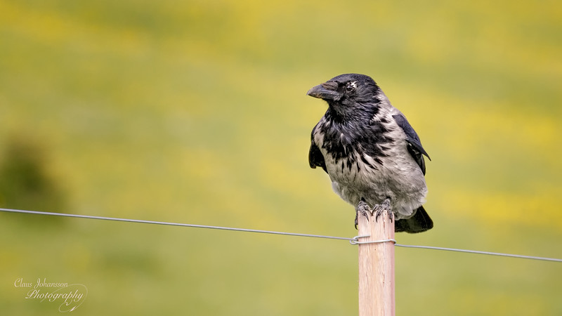 Small pole - big bird