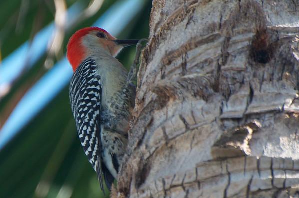 Red-bellied woodpecker, Estero, Florida