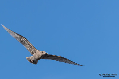 Western gull in flight. The western gull (Larus occidentalis) is a large white-headed gull that lives on the west coast of North America