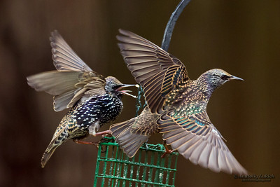 Common Starling (Sturnus vulgaris), also known as the European Starling or just Starling, is a passerine bird in the family Sturnidae.  Обыкновенный скворец