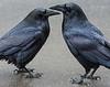 Ravens, Yosemite National Park