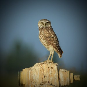 burrowing owl on fire hydrant