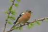 Male Chaffinch on a Fir branch